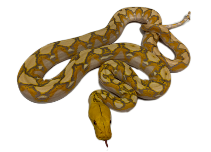 Purple Albino Reticulated Python